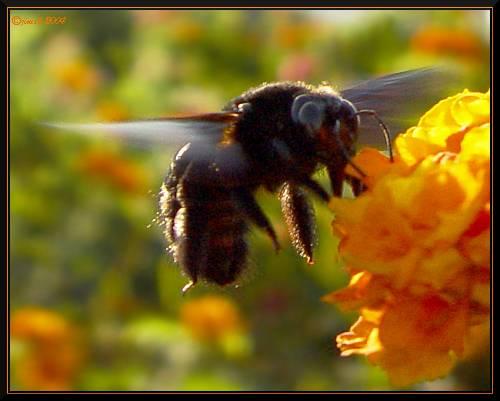 mamangaba pousando large bee landing fotola com